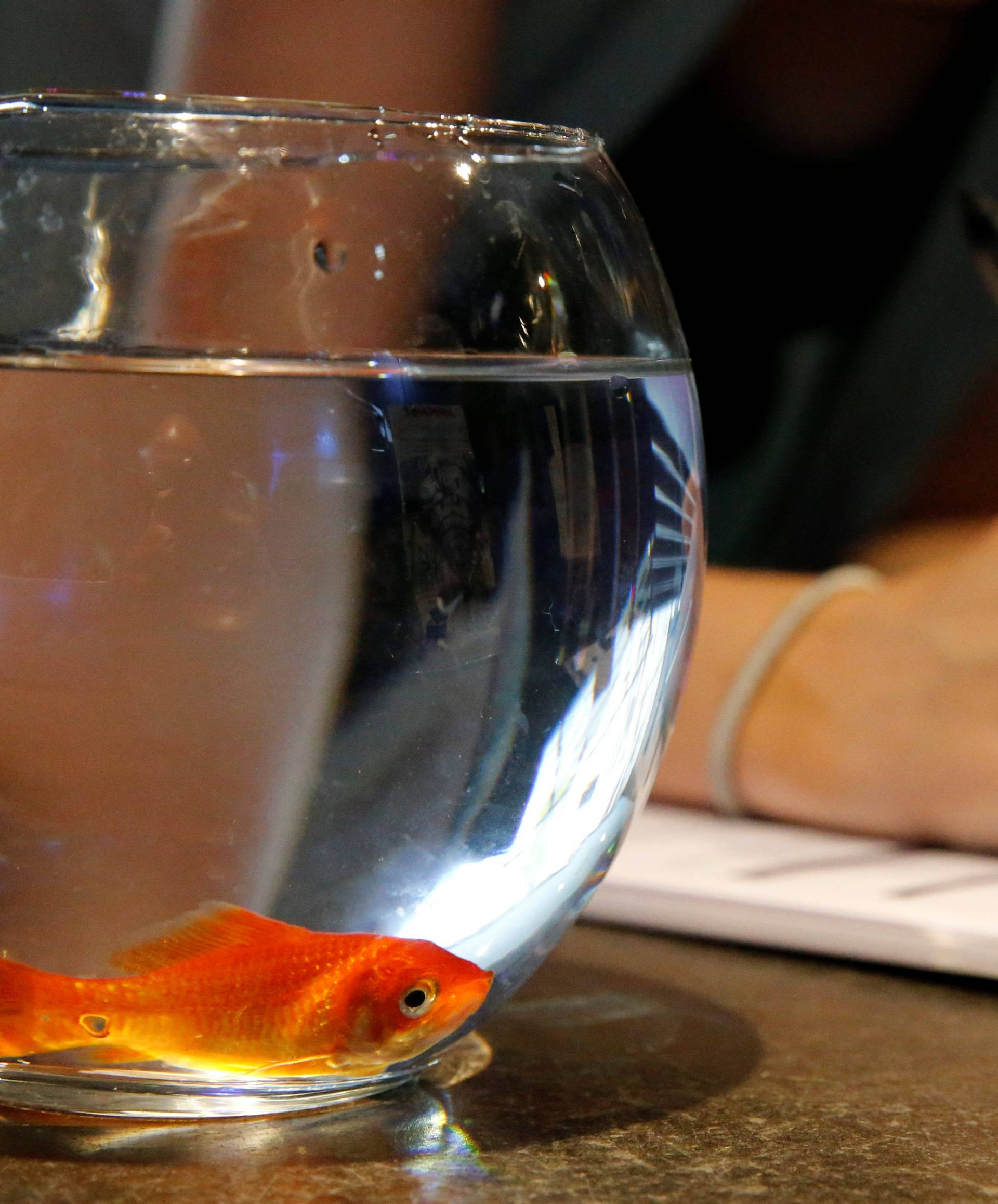 """Emie Le Fouest from Paris brings her goldfish named """"Luiz Pablo"""" to Paris aquarium as part of an operation launched to take care of hundreds of goldfish abandoned by French holiday-makers, in Paris"""