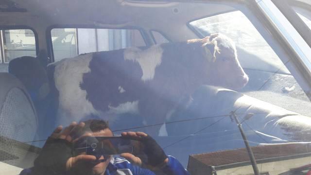 U autu je vozio tele bambi, a onda mu na cesti pukla guma