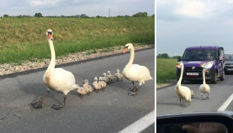 Tata labud vodio kolonu: Auti, stanite da prođu moji labudići!
