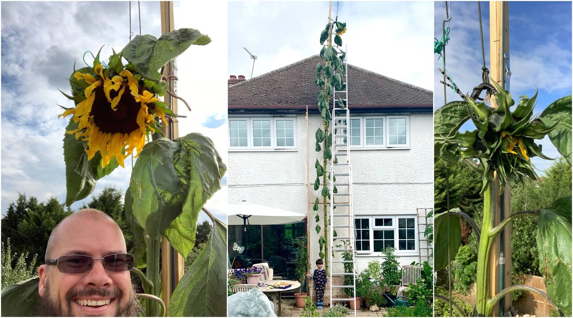 U karanteni zasadio suncokret, sad je velik 6 metara: Sin me tražio da bude velik kao kuća!