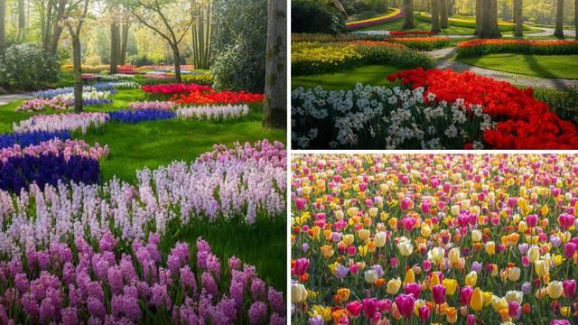 Nizozemski tulipani u punom su cvatu - u potpunoj izolaciji