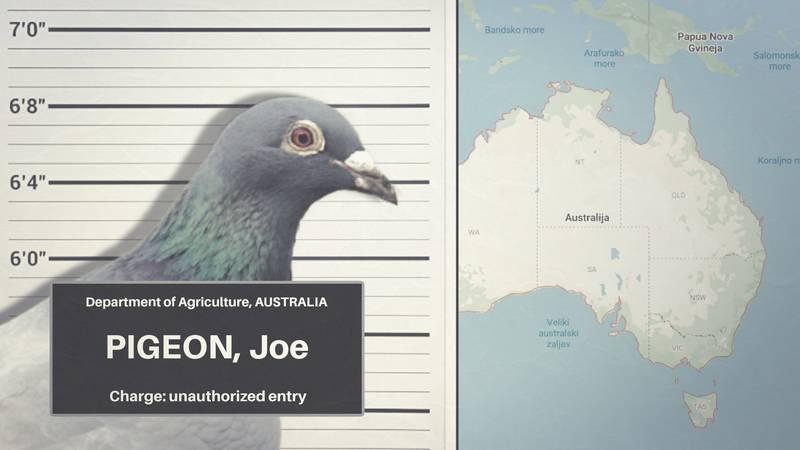 Australske vlasti traže goluba Joea kako bi ga ubile. Terete ga za ilegalan ulazak na kontinent