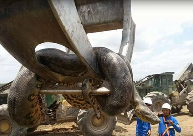 Ovo je zvijer od 400kg: Radnici pronašli najveću anakondu ikad