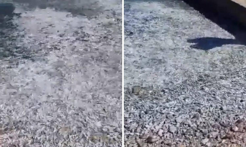 Jato od 200 kg riba izletilo na obalu na Cresu - bilo je dovoljno za sve da ponesu i doma