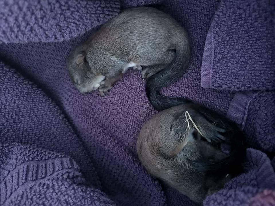 Spašene vjeverice iz Maksimira su bolje i samo traže mlijeko