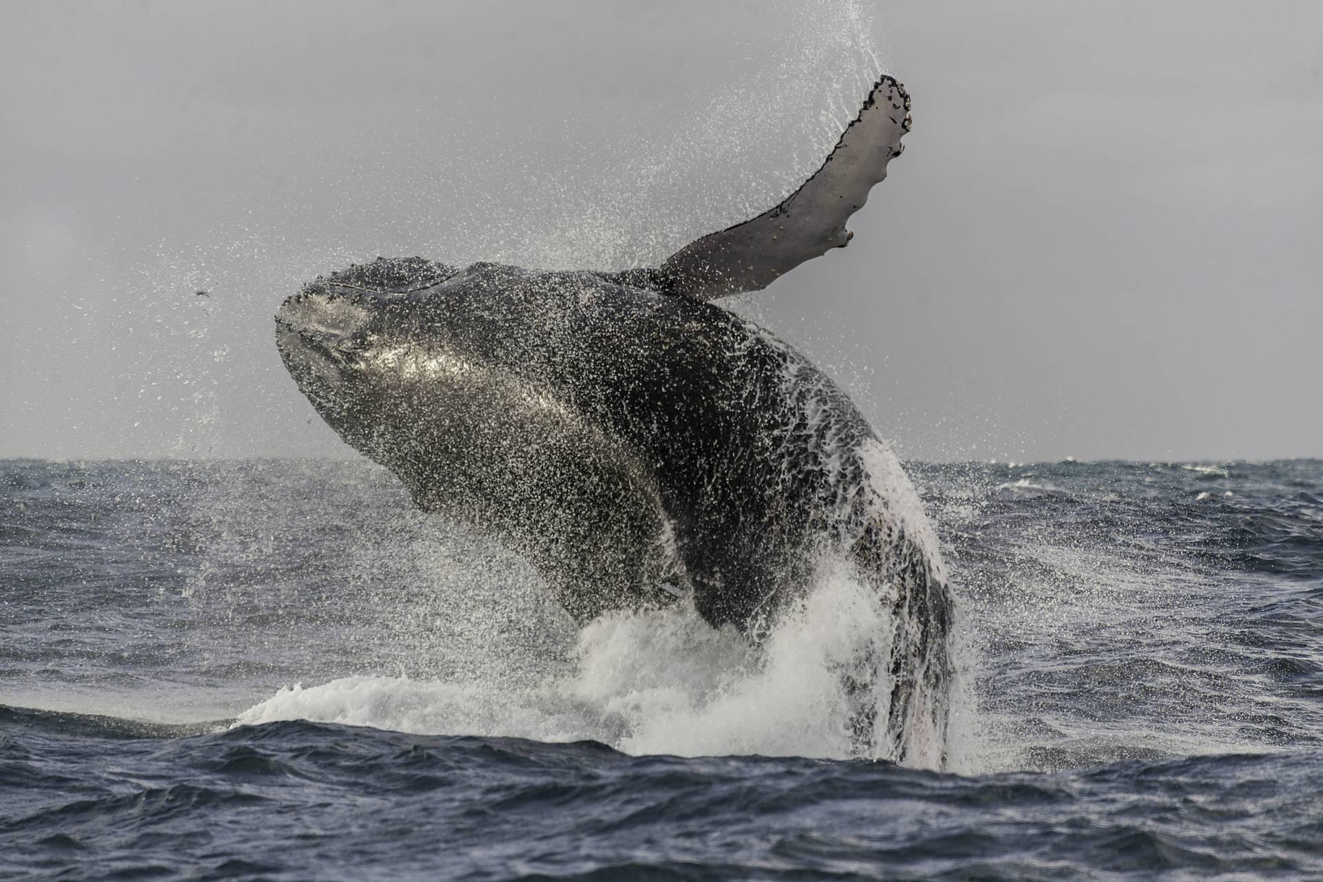 Pomozite u potrazi za velikim kitom u Velebitskom kanalu