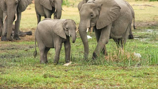 Više od 360 slonova uginulo je pod nerazriješenim okolnostima
