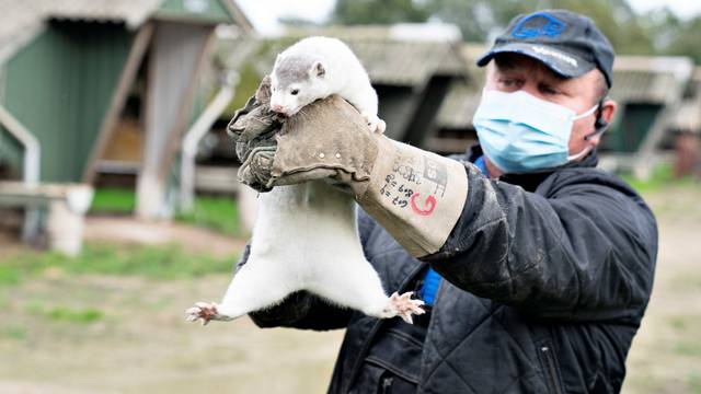 Thorbjorn Jepsen holds up a mink at his farm in Gjoel
