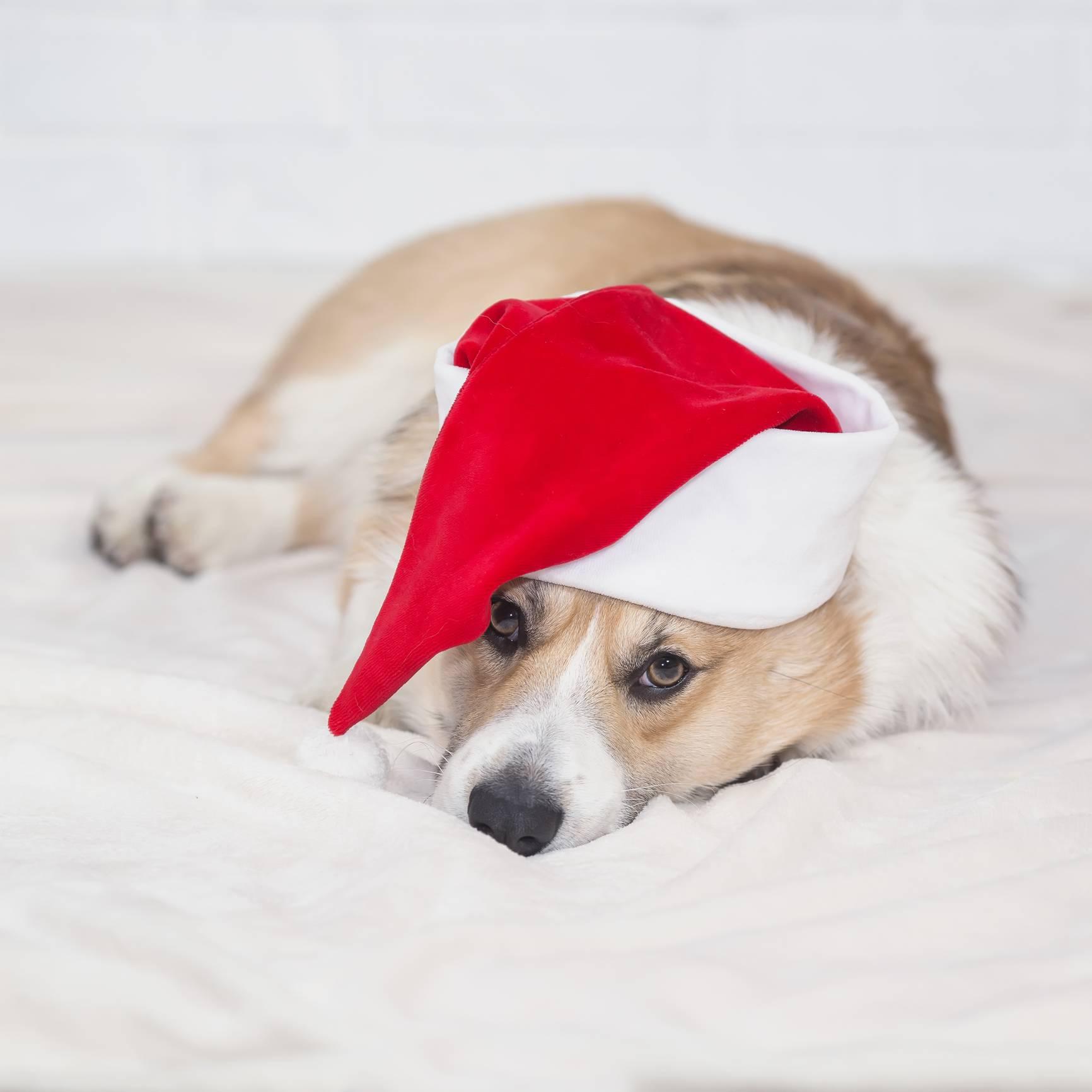 portrait of a little Corgi dog puppy lying on a white fluffy bla