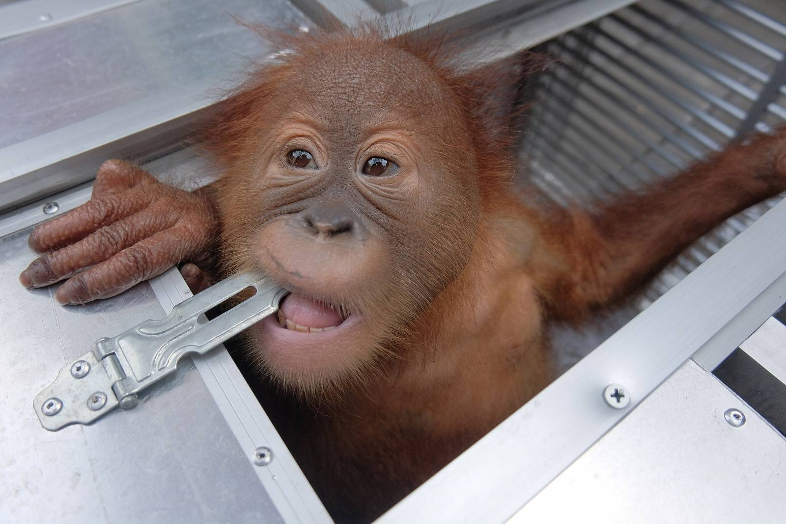 Two-year old male orangutan looks out of a cage after being confiscated, at BKSDA office in Bali