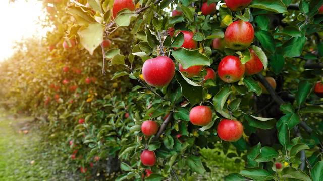 Od 100 domaćih sorti jabuka ova je najbolja za štrudlu