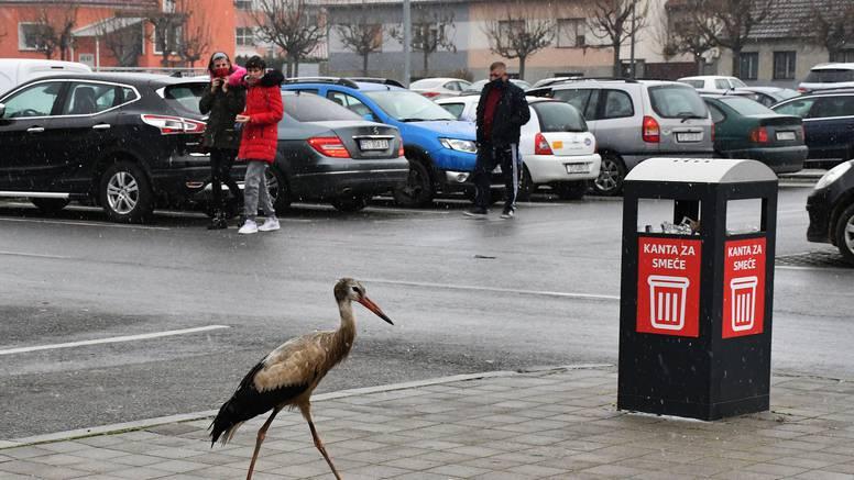 Roda u Požegi: Pristojno je s noge na nogu prešla zebru. Prošetala se i parkiralištem...