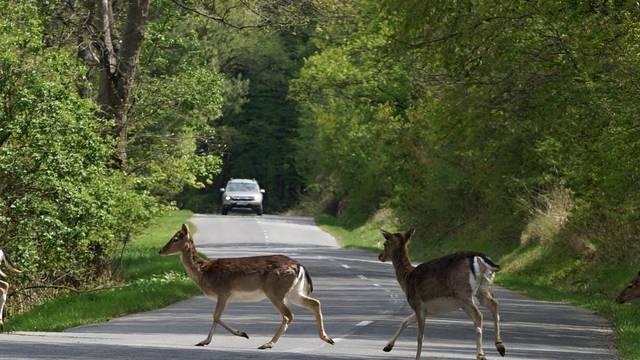 Nalet divljači: Ako nema znaka na cesti, nećete dobiti odštetu