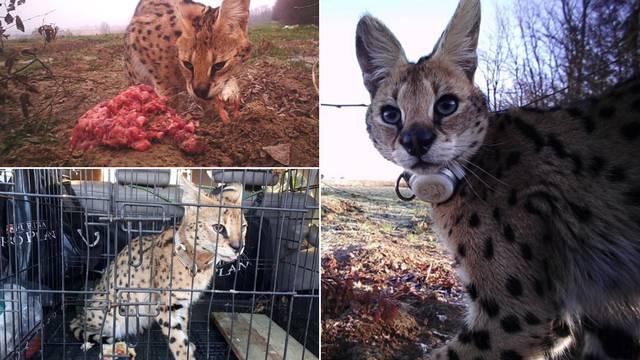 Prve fotke turopoljske 'zvijeri': Kod mene je doma, jede iz ruke