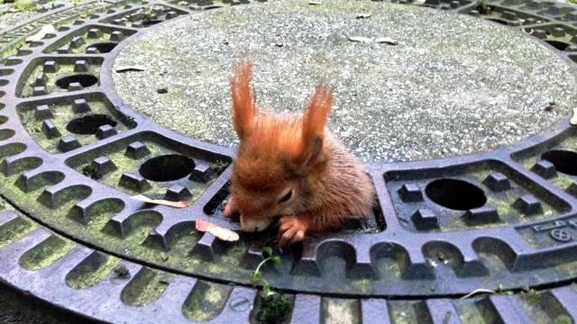 Squirrel stuck in drain cover