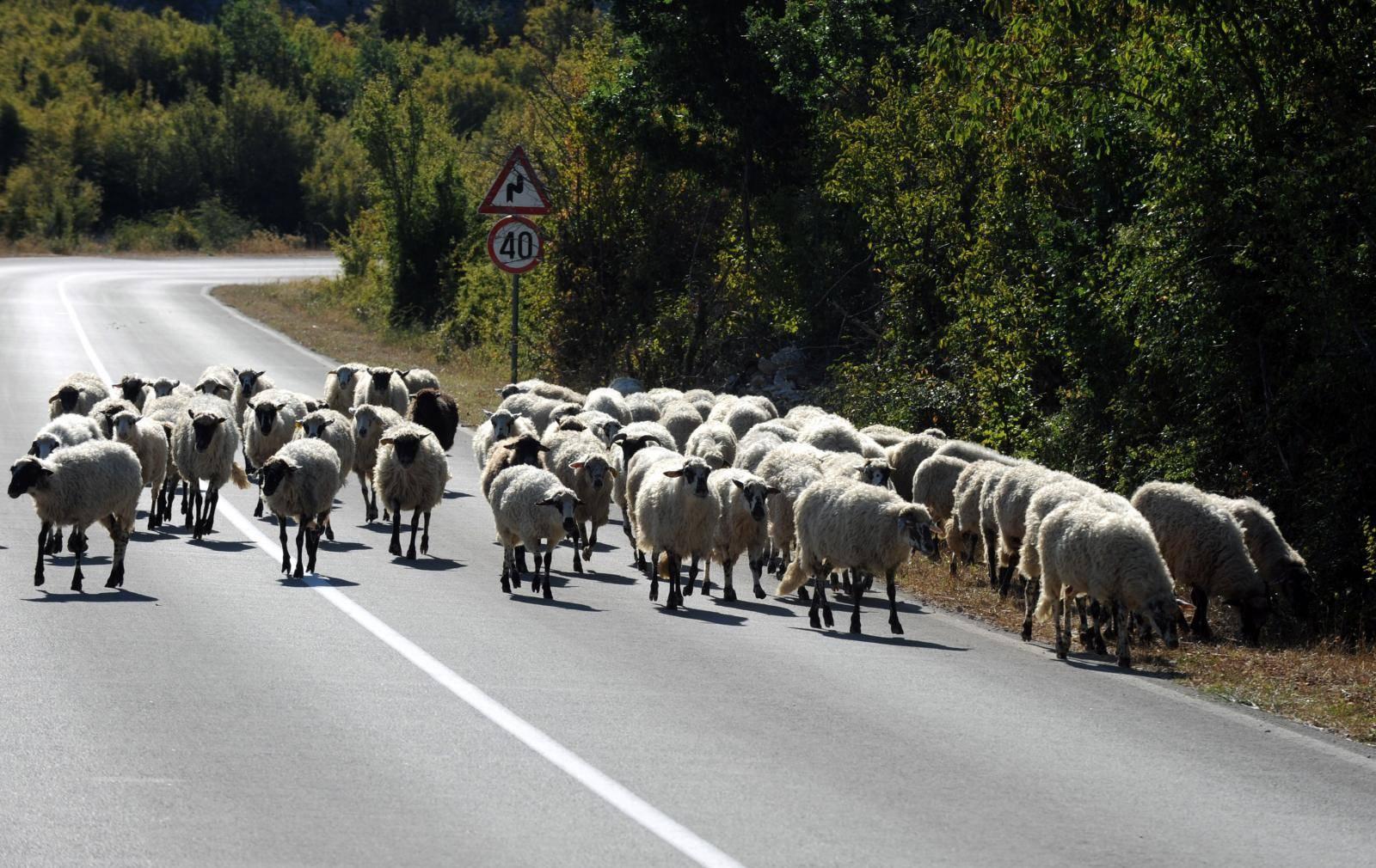 Jeziv prizor: Autom je naletio na krdo ovaca kod Šestanovca