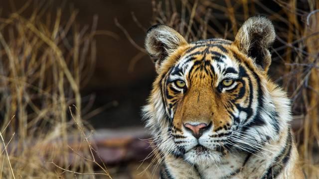 Koenigstiger, Indischer Tiger, Bengaltiger, Panthera tigris tigris, Bengal tiger