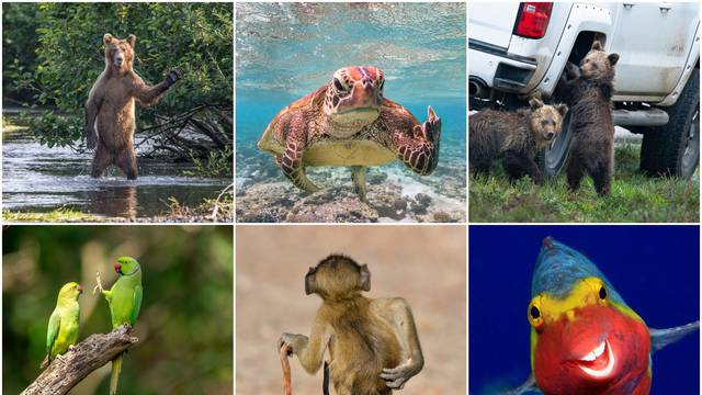 Izaberi svog pobjednika: Je li to medo koji ti maše ili kornjača koja ti pokazuje srednji prst?