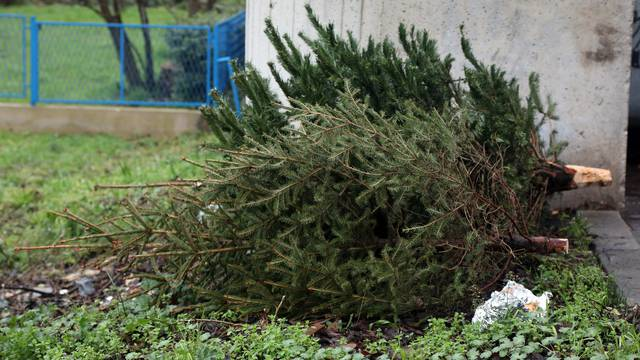 Šibenik: Raskićeni borovi bačeni pored smeća čekaju svoj odvoz
