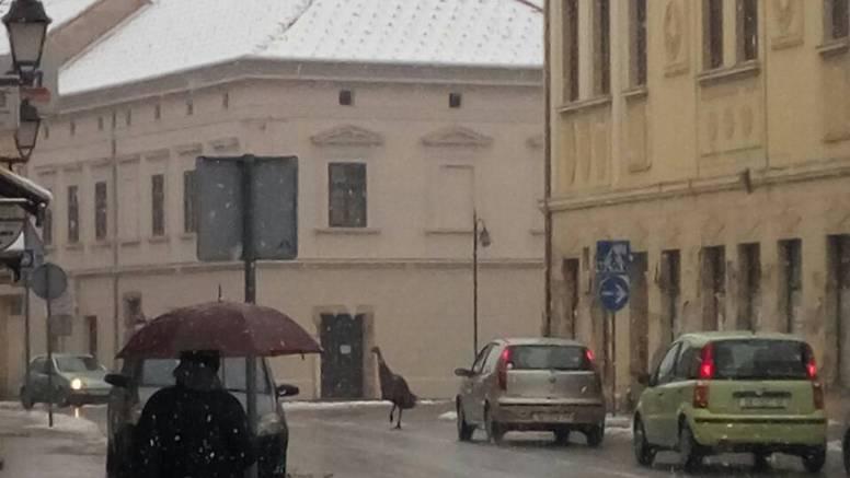 Vidi kako juri! Ptica trkačica bježala je po ulicama Petrinje