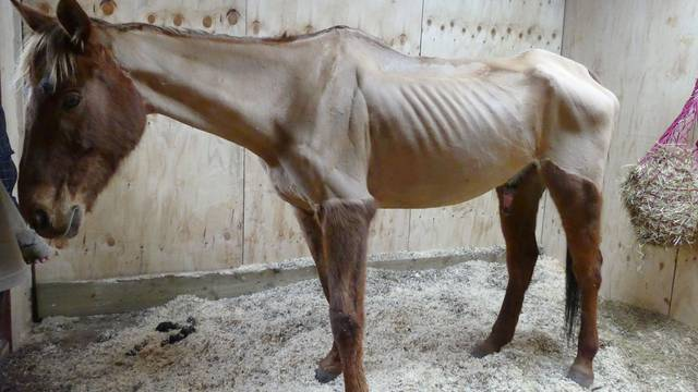 Skinny horse Thor