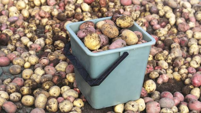 Krumpir sa žutom korom bolji za kuhanje, s rozom za prženje, ali - ako je dobro skladišten
