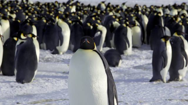 Emperor penguins are seen in Dumont d'Urville, Antarctica