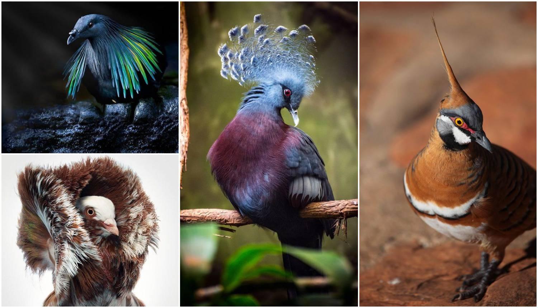 Ovi golubovi zasigurno će svima oduzeti dah svojom ljepotom