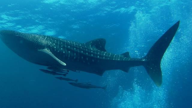 Najveće ribe na svijetu: Ženke kitopsina veće su od mužjaka