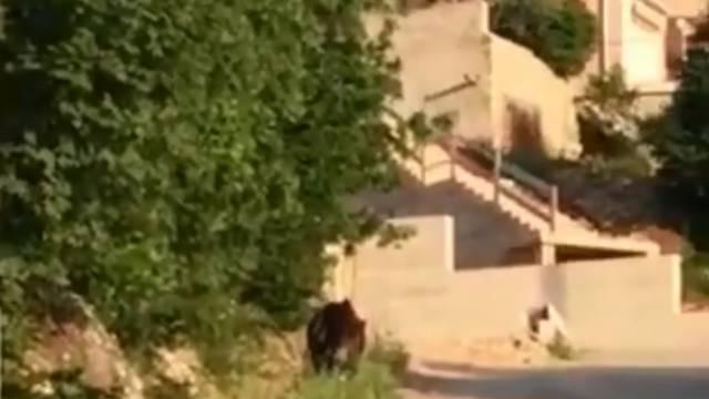 Divlje svinje vole Crikvenicu: Šetala se oko staračkog doma