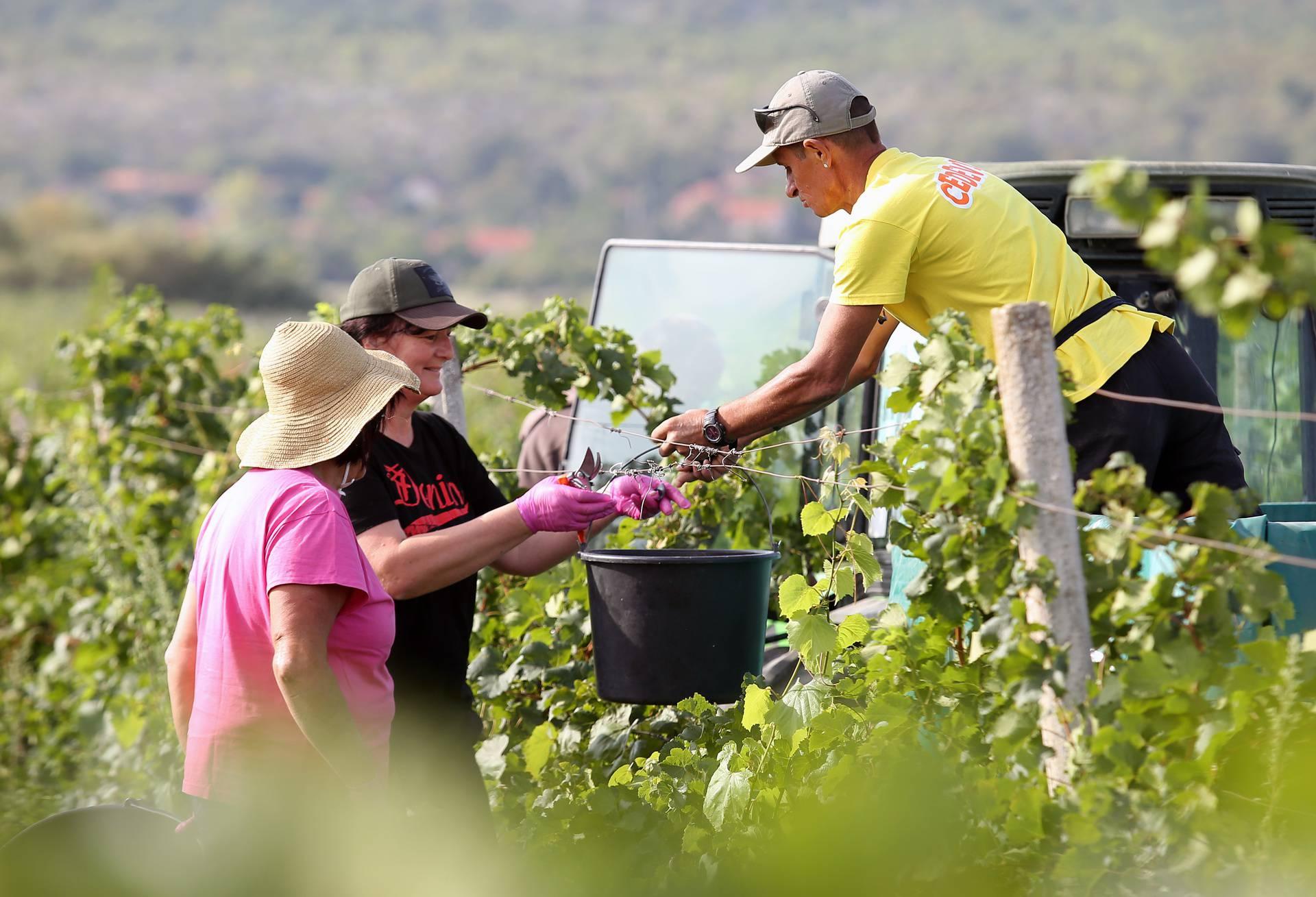 U berbi: Kad se vrijedne ruke slože, i  grožđe se obrati može!