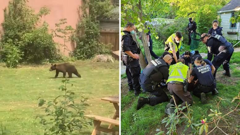 Medvjedić harao po Montrealu: 'Bio je u dvorištu. Dali smo mu 3 doze sedativa, ali je pobjegao'