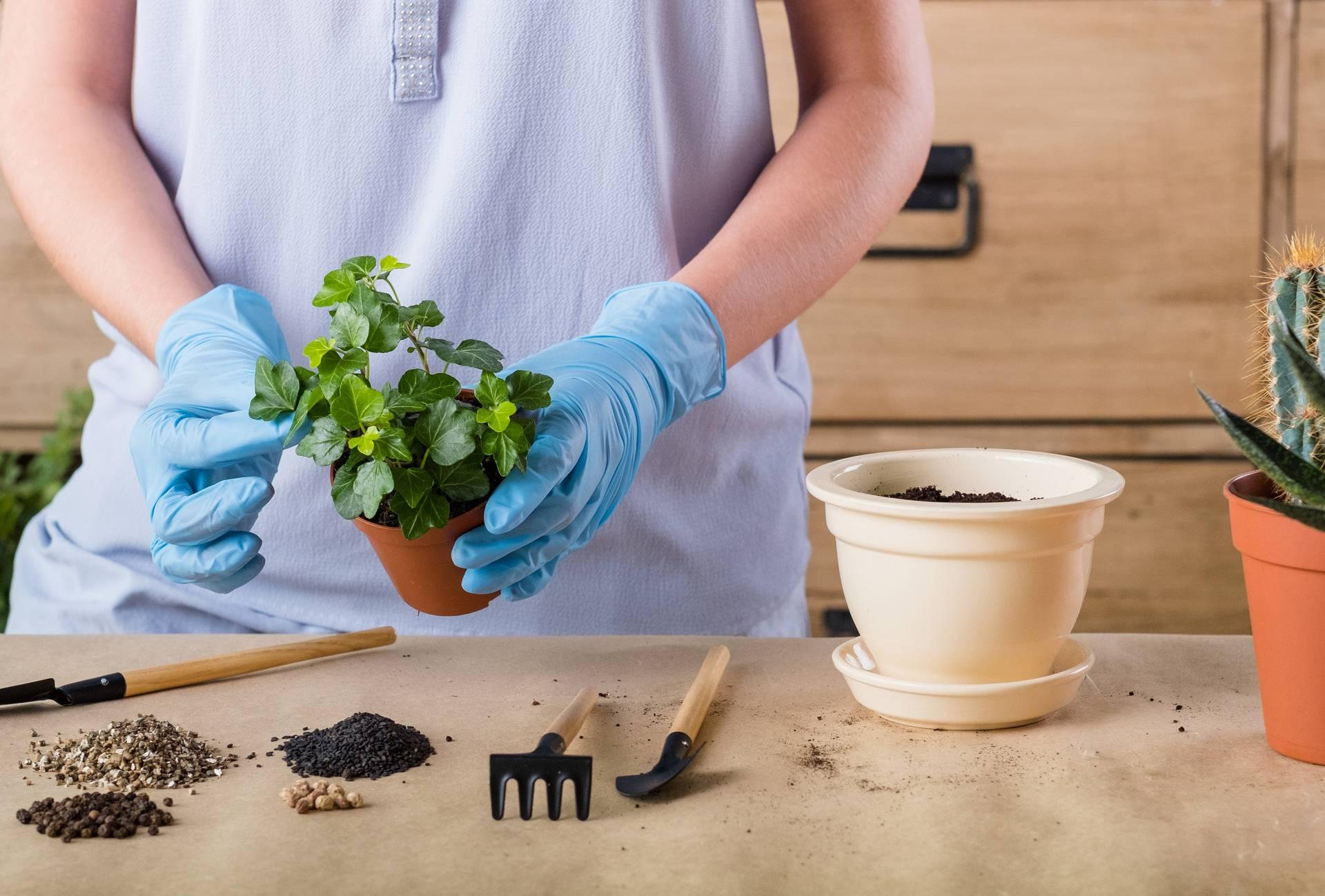 Nakon kupovine biljku nemojte odmah presaditi u novi lonac, pustite da se malo 'odmori'