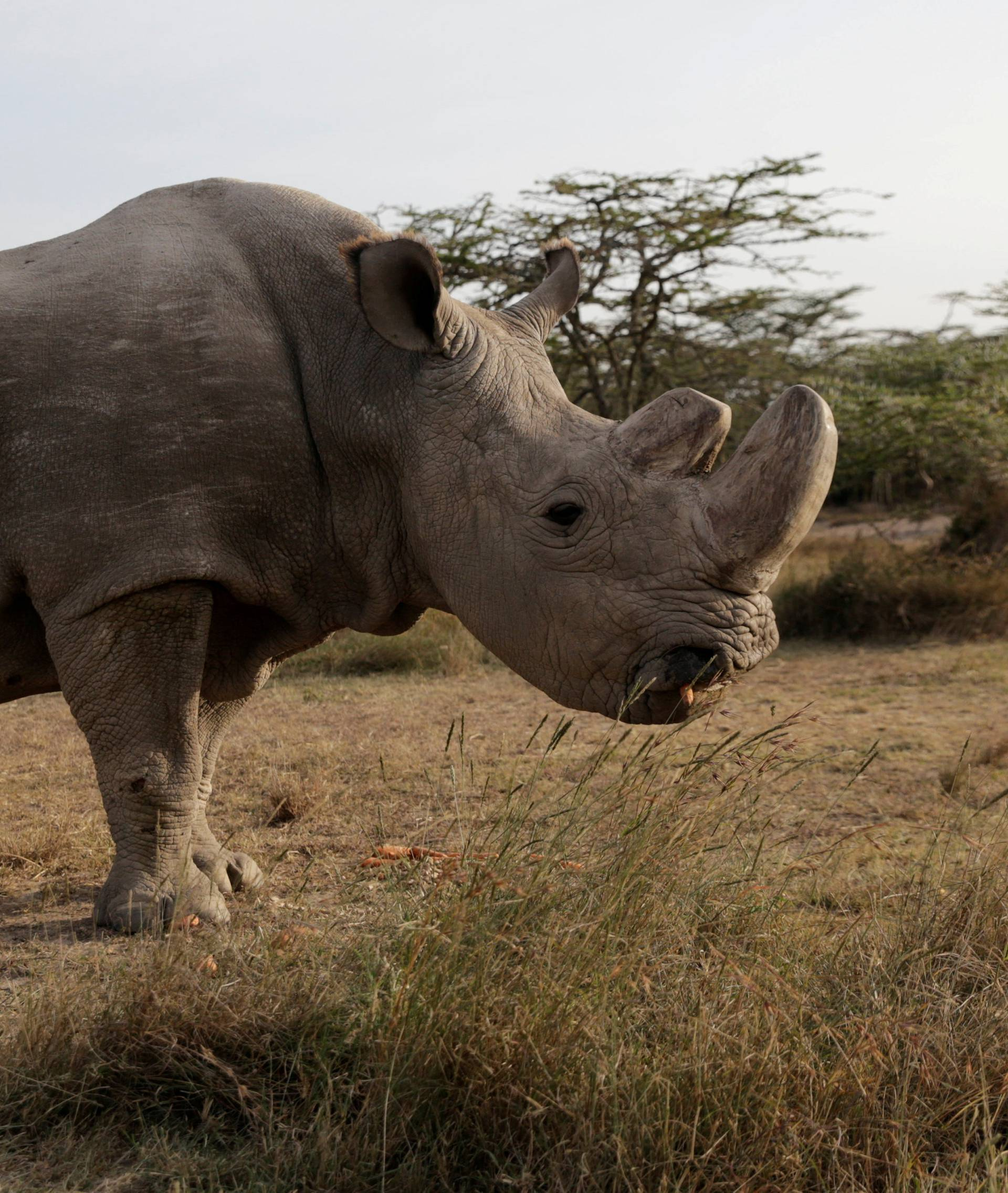 FILE PHOTO: The last surviving male northern white rhino named 'Sudan' is seen at the Ol Pejeta Conservancy in Laikipia