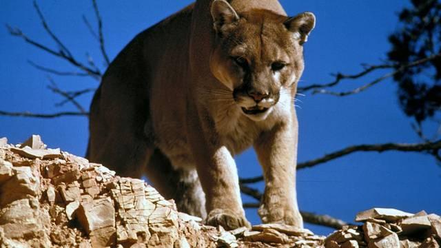 Puma ubila biciklista i odvukla ga u svoj brlog, a drugog ranila