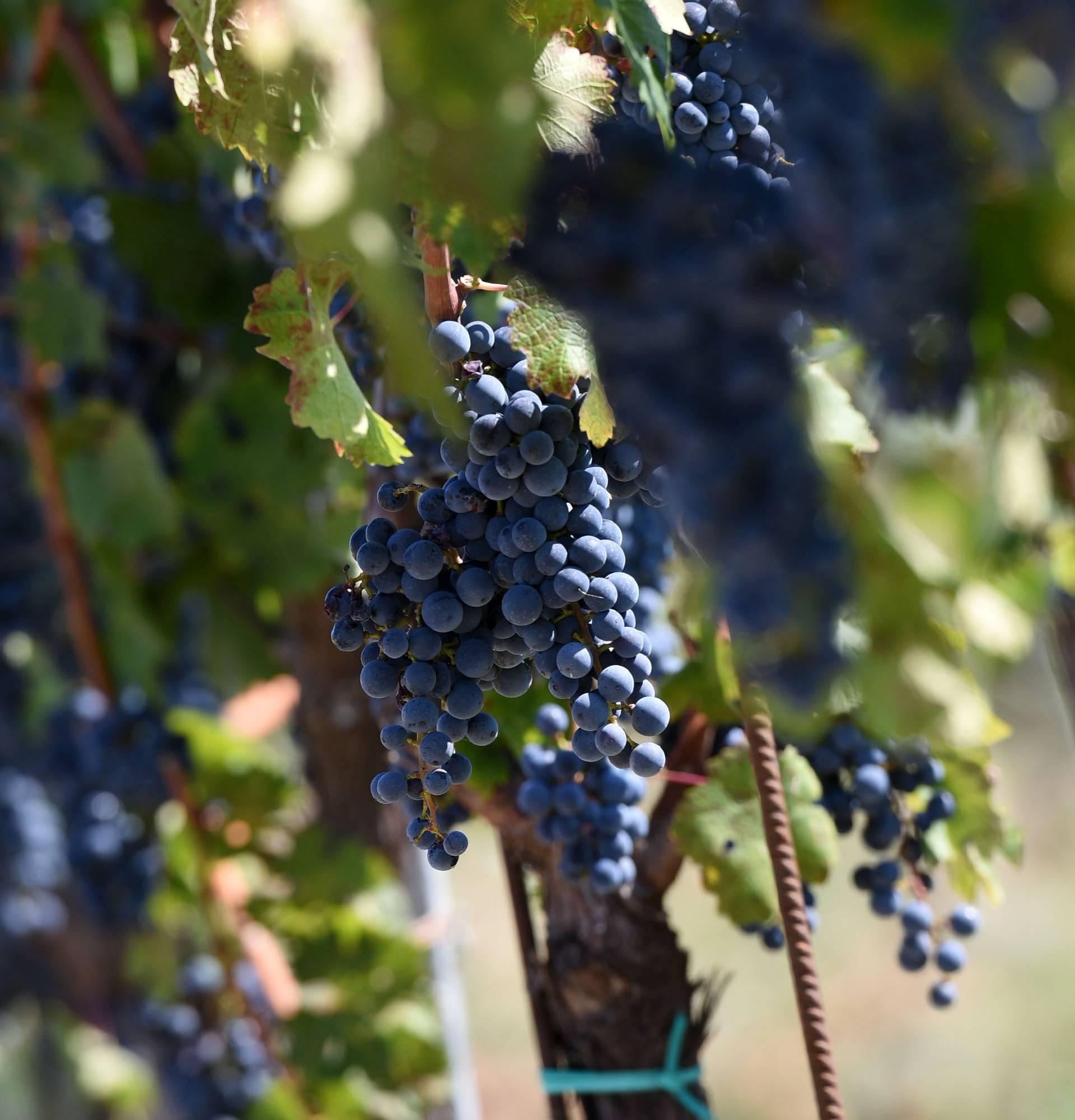 EK potvrdila: Hrvatski vinari moći će koristiti naziv teran