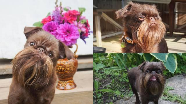 Zbog brade ovog psića zovu Chewbacca i 'hipster djedica'