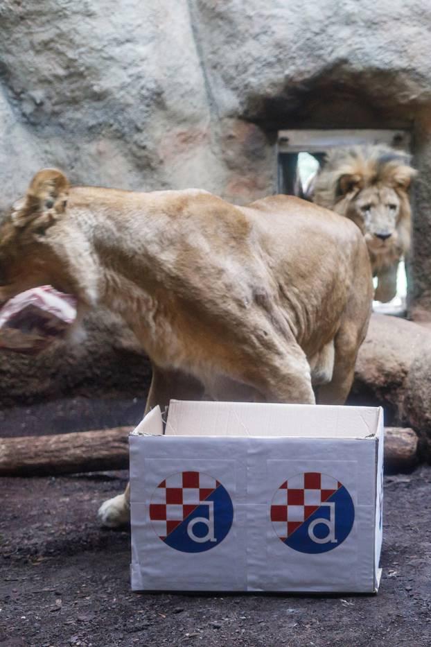 Zagrebački ZOO organizirao lavlju prognozu rezulatata utakmice Dinamo - West Ham