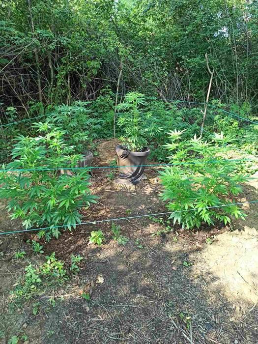 Uhitili muškarca(49): Pronašli su mu vrt indijske konoplje...