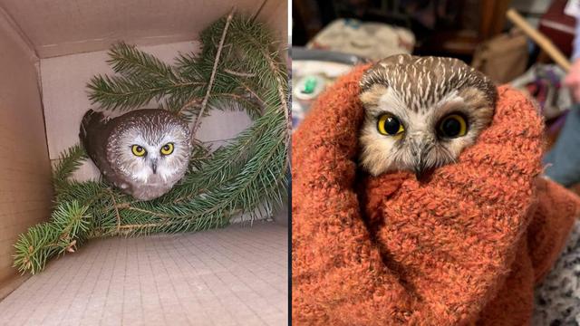 S božićnim drvom u New York doputovala i mala slatka sova