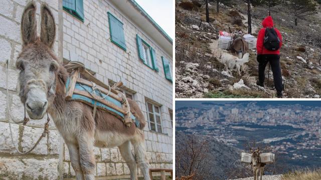 Mosor: Magarac Šuker  po buri i snijegu nosi hranu planinarima
