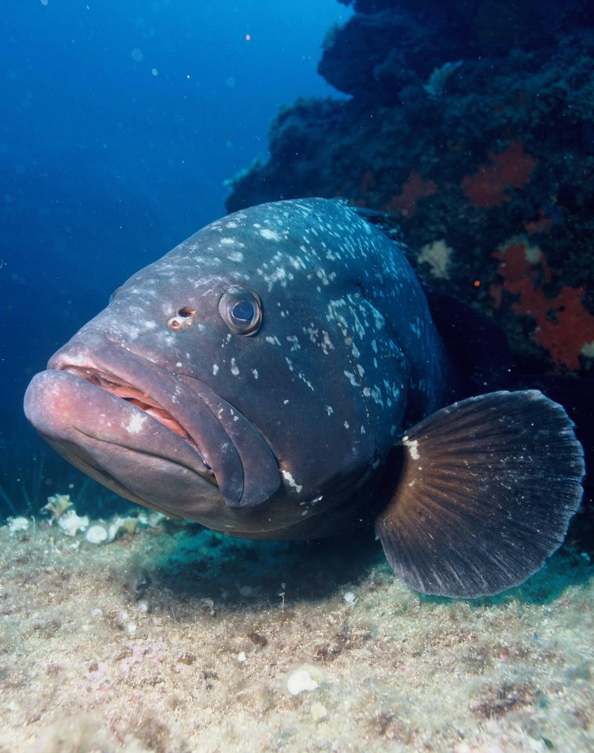 Ribari  uhvatili kirnju tešku 160 kilograma i staru 50 godina