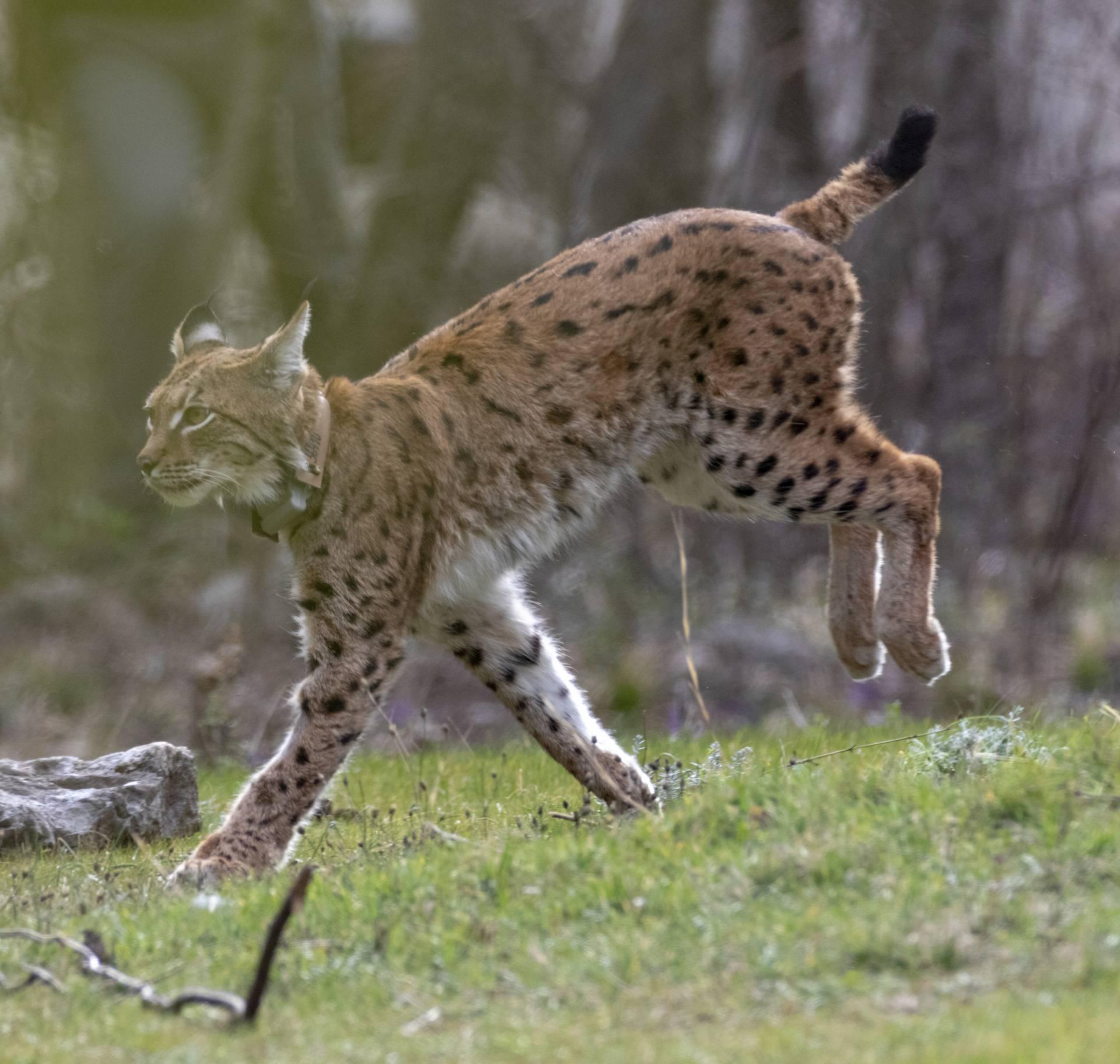 Alojzije je najpoželjniji macan: Zavodit će samo velike mačke