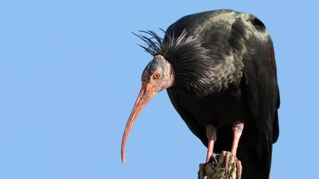 Krivolovci u Hrvatskoj ubili dvije ptice od 250.000 kuna