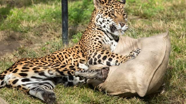 Stara dama: 'Micica' iz Osijeka najstarija jaguarica na svijetu