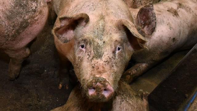 Varaždin: Zbog električnog kvara je uginulo 1000 svinja