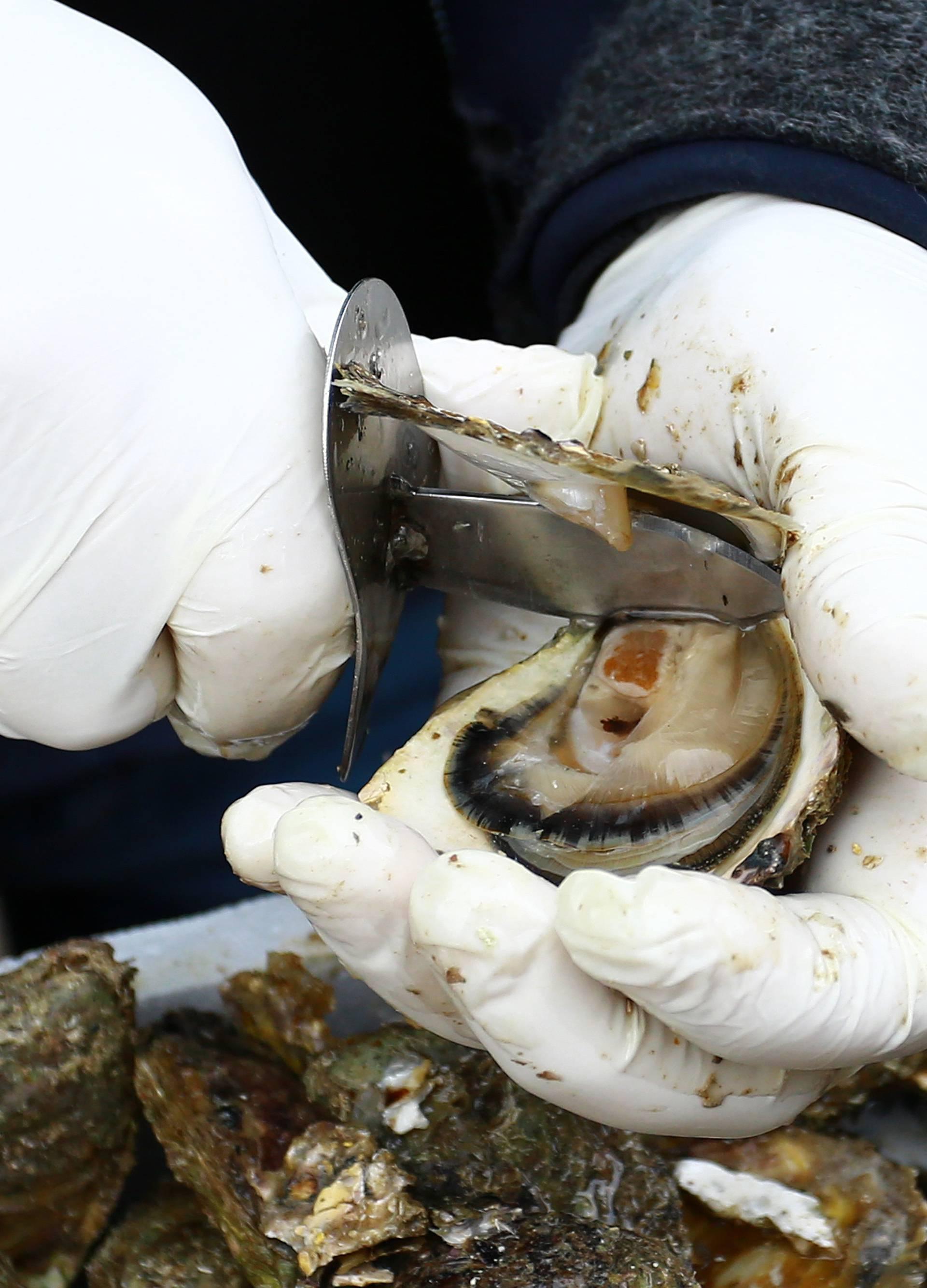 Opasni norovirus u školjkama na Pelješcu - pazite što jedete!