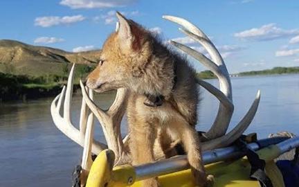 Spasio štene kojota iz vode i s njim na raftingu proveo 10 dana