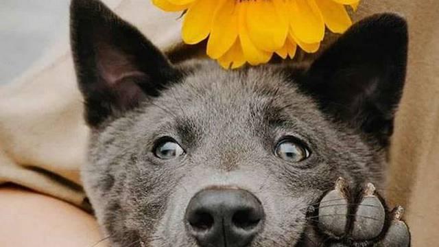 Slatki psić iz Vijetnama osvojio je srca ljudi  - ima tijelo mačke!