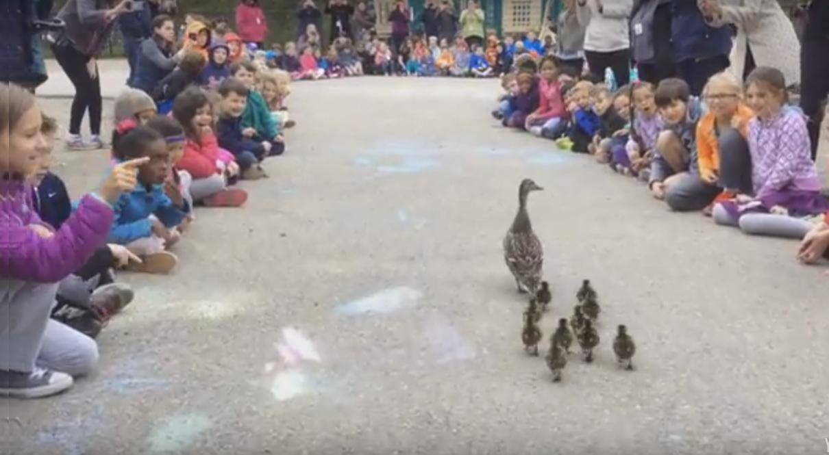 Cijela škola ispratila patku s pačićima do obližnjeg jezera